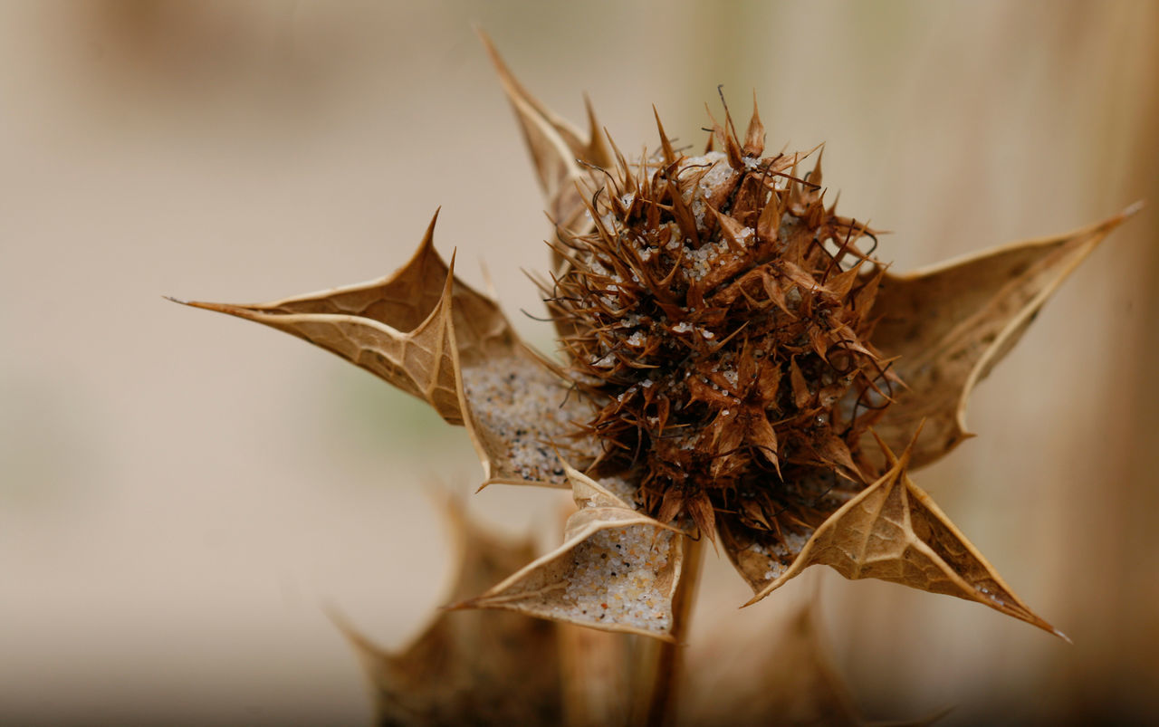 Beauty In Nature Chardons Dried Plant Flower Fragility Leaf Nature No People Petal Plant