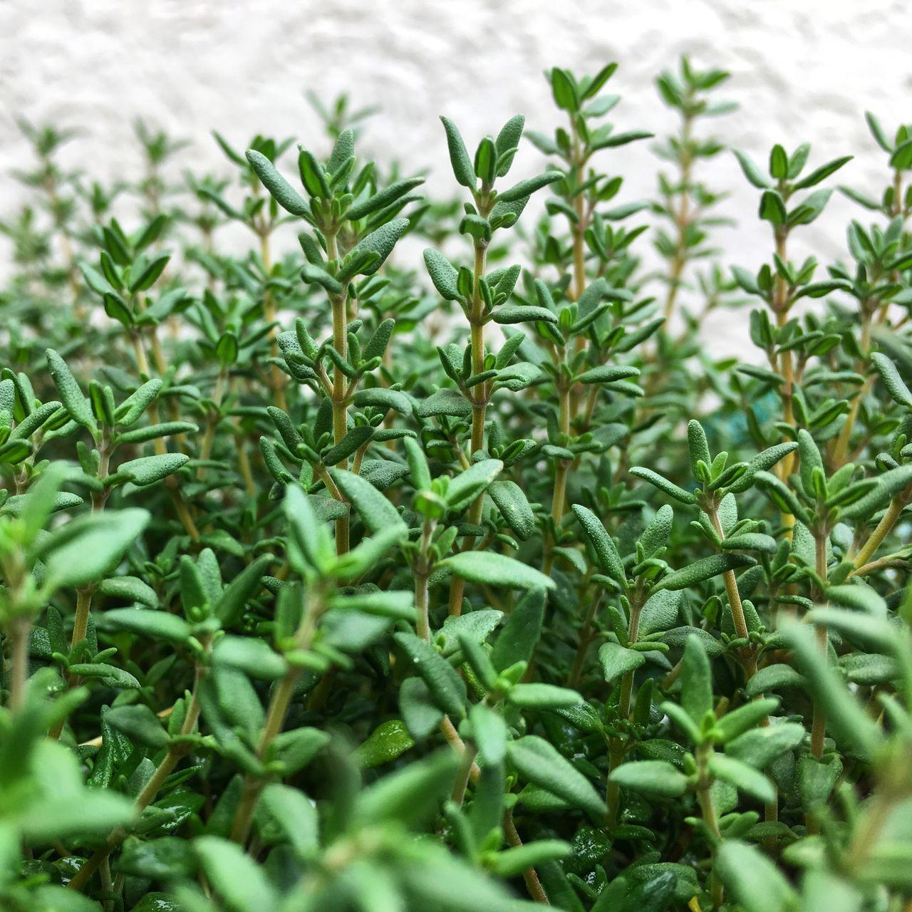Thyme Herbs Garden Garden Photography Green