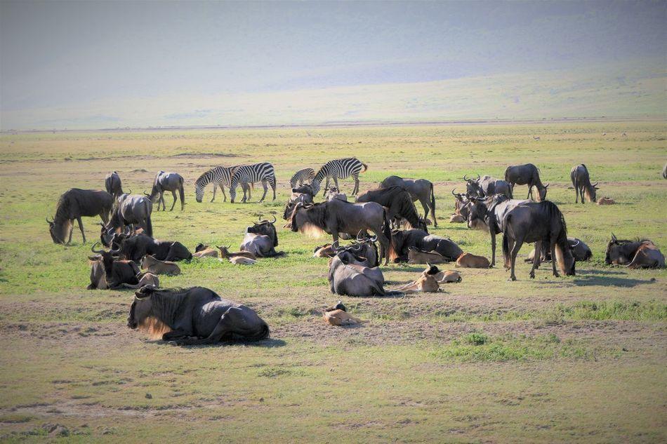 Serengeti Animal Themes Animals In The Wild Birth Birthday Day Gnus Herd Landscape Large Group Of Animals Mammal Nature Ngorongoro Crater No People Outdoors Safari Animals Serengeti National Park Sky Tanzania