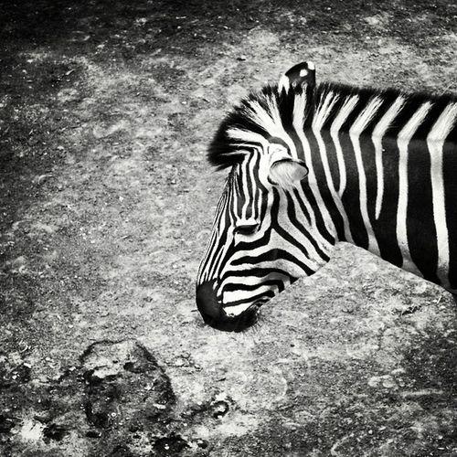 Zebrahead la pran del zoo Zebra Zebrahead Minimal Minimalistic Minimalita_ve Monochrome Monoart Monochromeart Monolove Blackwhite Zoo Streetphotovenezuela Insta_ve Instavenezuela Animals
