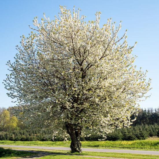 Kirschbaumblüte im Mai Beauty In Nature Blooming Blue Cherry Tree Flower In Bloom Kirschbaum Kirschbaumblüten Kirschblüte Nature Solitärbaum Tree