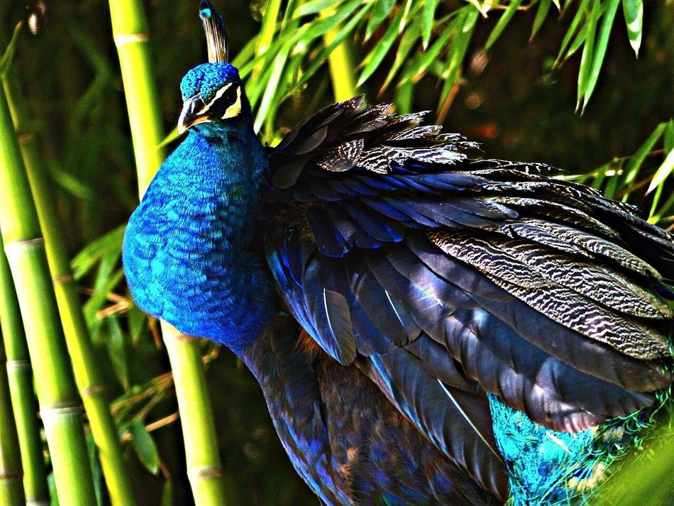 Blue Peafowl Spring Temaiken Pavo Real