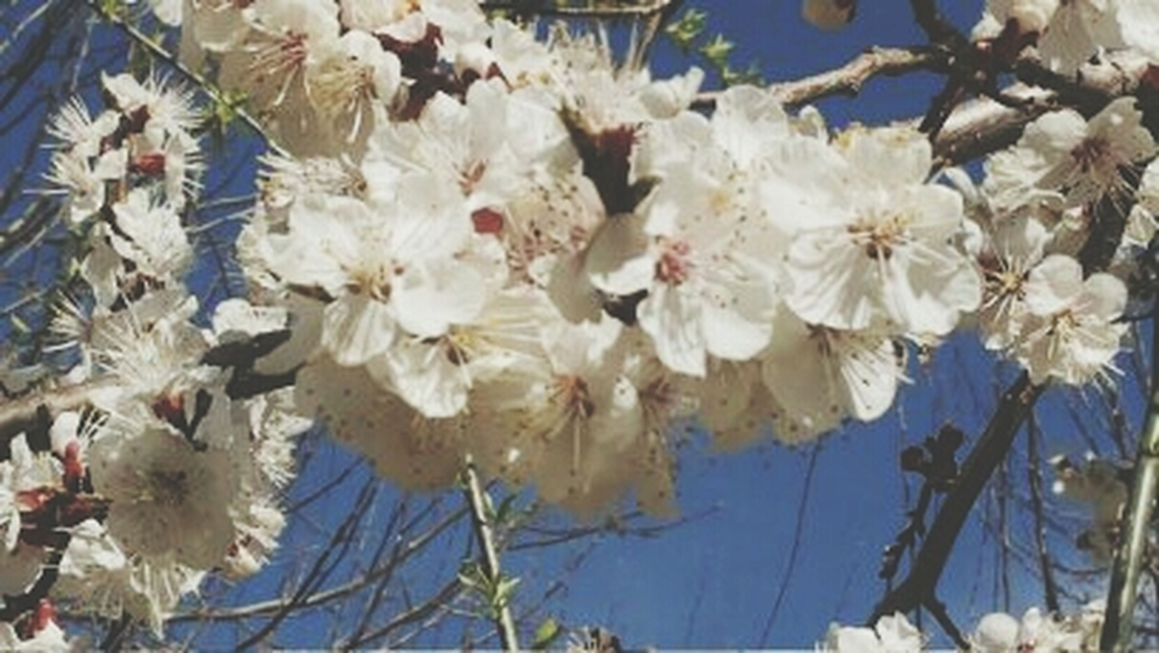 flower, freshness, fragility, growth, branch, nature, white color, beauty in nature, petal, low angle view, cherry blossom, blooming, blossom, close-up, day, tree, in bloom, focus on foreground, flower head, outdoors