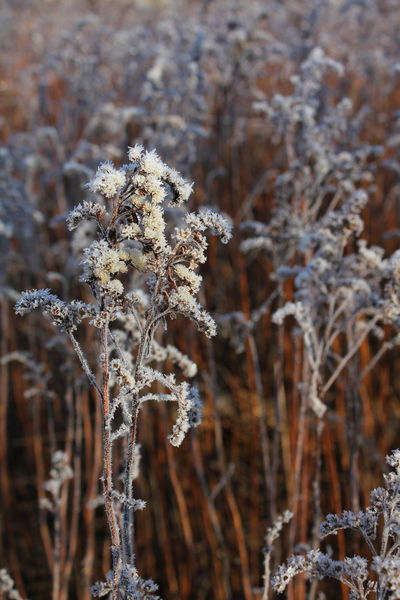 Beauty In Nature Close-up Cold Temperature Day Fragility Frost Frosty Growth Nature No People Outdoors Plant Snow Winter Winter Winter Tones