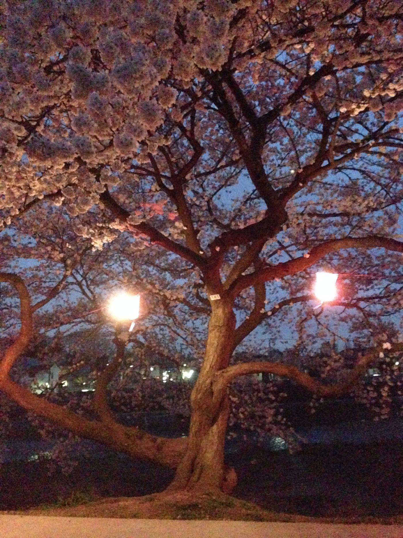 sakura malam hari ?