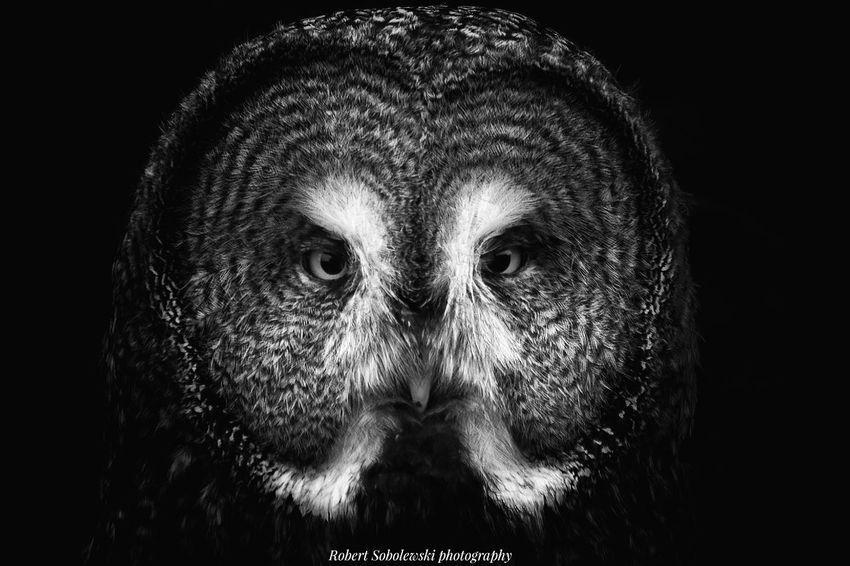 Portrait Black Background Owl Owls Owl Eyes Owls Are Cute OWL Shoot Owllife Owl Photography Owl Portrait. OWLEYE Blackandwhite Photography Beauty In Nature Black And White Portrait Beauty Headshot Taking Photos