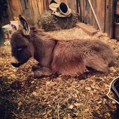 My wittle baby deer. Hahahahah nevermind, he's a donkey. WonkeyTheDonkey Mybaby Proudmother