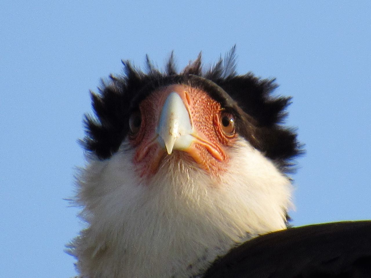 Crested Caracara Bare Skin Big Bird Black And White Fish Eater Large Bird Meat Eater Orange Color Tropical Falcon Windy Day