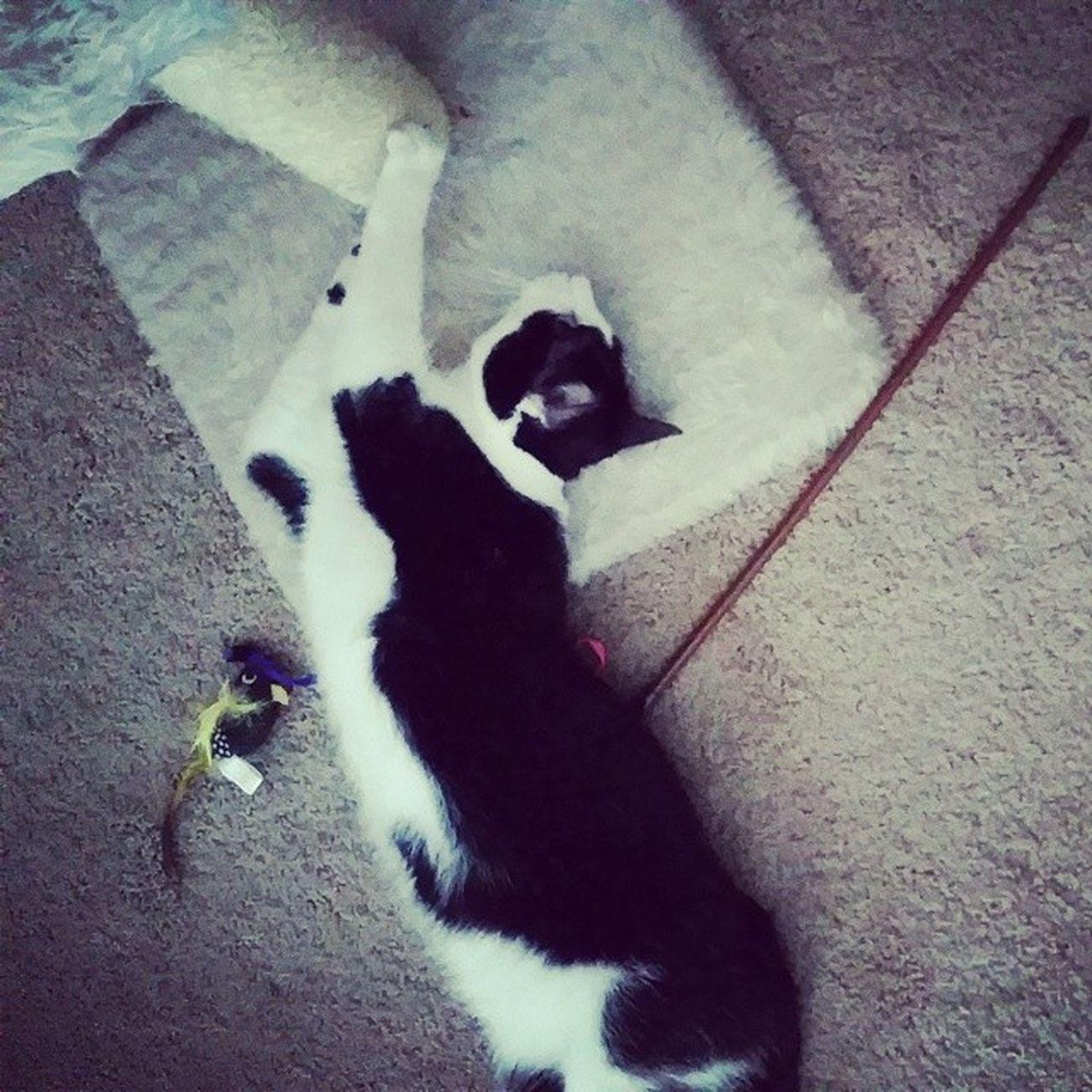 Ahh the good life ? Catsofinstagram Cats Blackandwhitecats Themingming lazycatdaze familiar fiercefelines furbaby