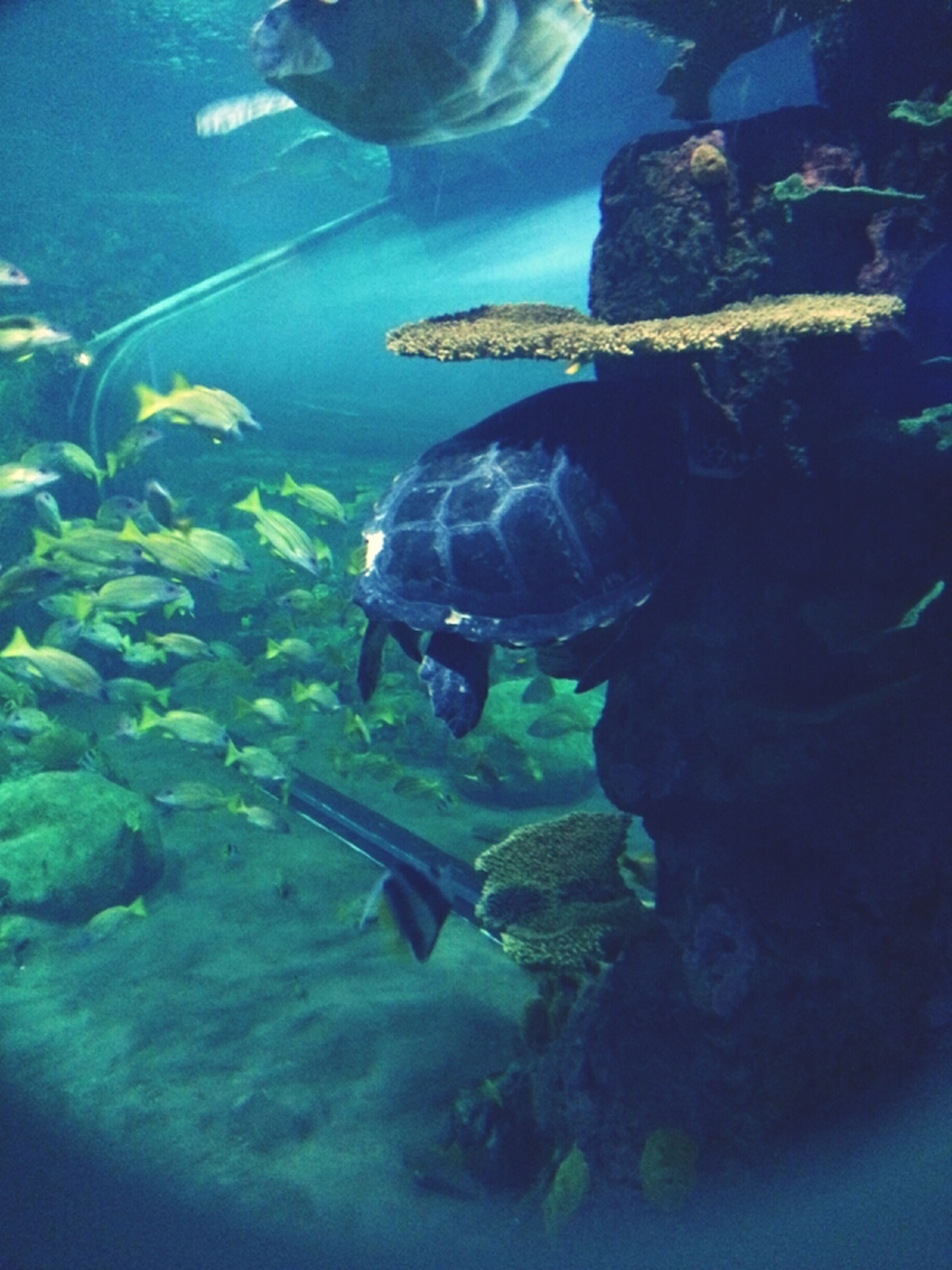 water, underwater, swimming, fish, sea life, blue, animal themes, sea, undersea, wildlife, animals in the wild, high angle view, indoors, aquarium, nature, transparent, one animal, reflection, turtle, no people