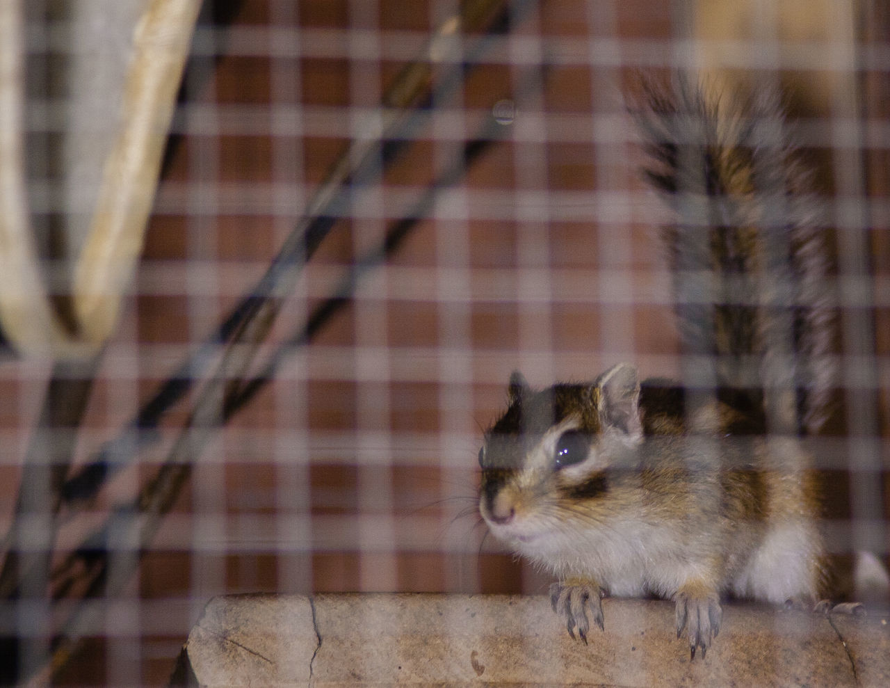 Animal Themes Cage Caged Chipmunk Chipmunk Close-up Chipmunk Eating Chipmunk Photography Chipmunkcheeks Chipmunkface Chipmunks  Close-up Day Domestic Animals Domestic Life Hamster Mammal No People One Animal Pets Rodent Wildlife