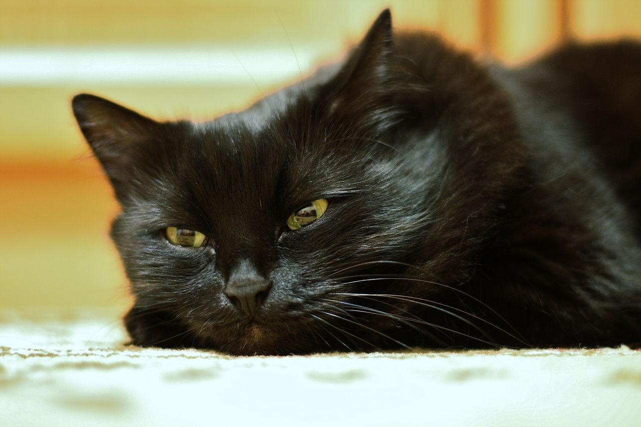 BLackCat Cats 🐱 Animal Themes Pets Domestic Animals One Animal Mammal Domestic Cat Close-up No People Feline Indoors  Yellow Eyes Day