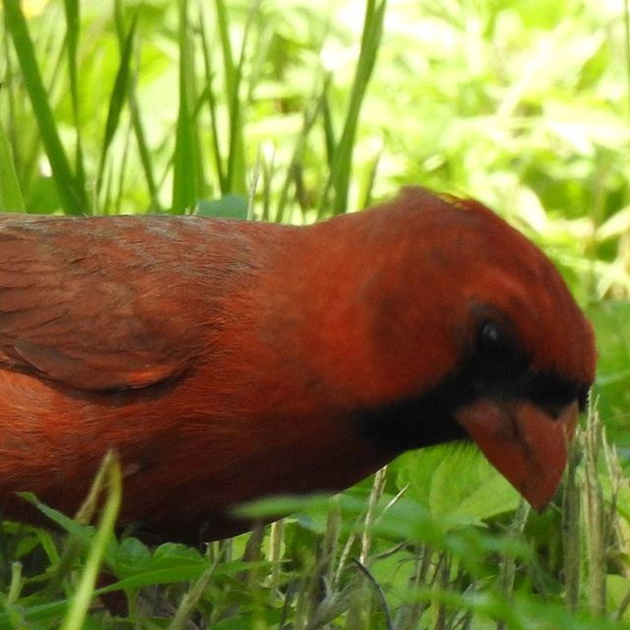 one animal, animal themes, animals in the wild, grass, close-up, day, no people, nature, red, plant, outdoors, bird, mammal
