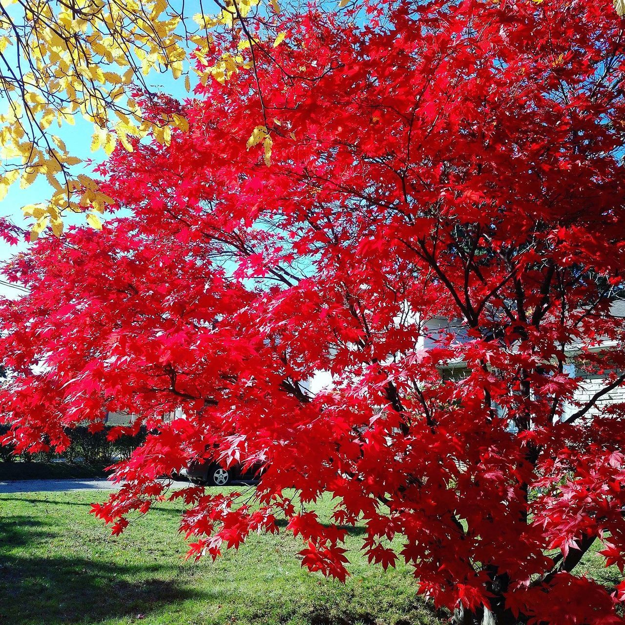 tree, autumn, growth, beauty in nature, nature, red, change, branch, blossom, leaf, no people, maple tree, low angle view, tranquility, outdoors, day, flower, springtime, scenics, maple leaf, fragility, freshness, sky, maple