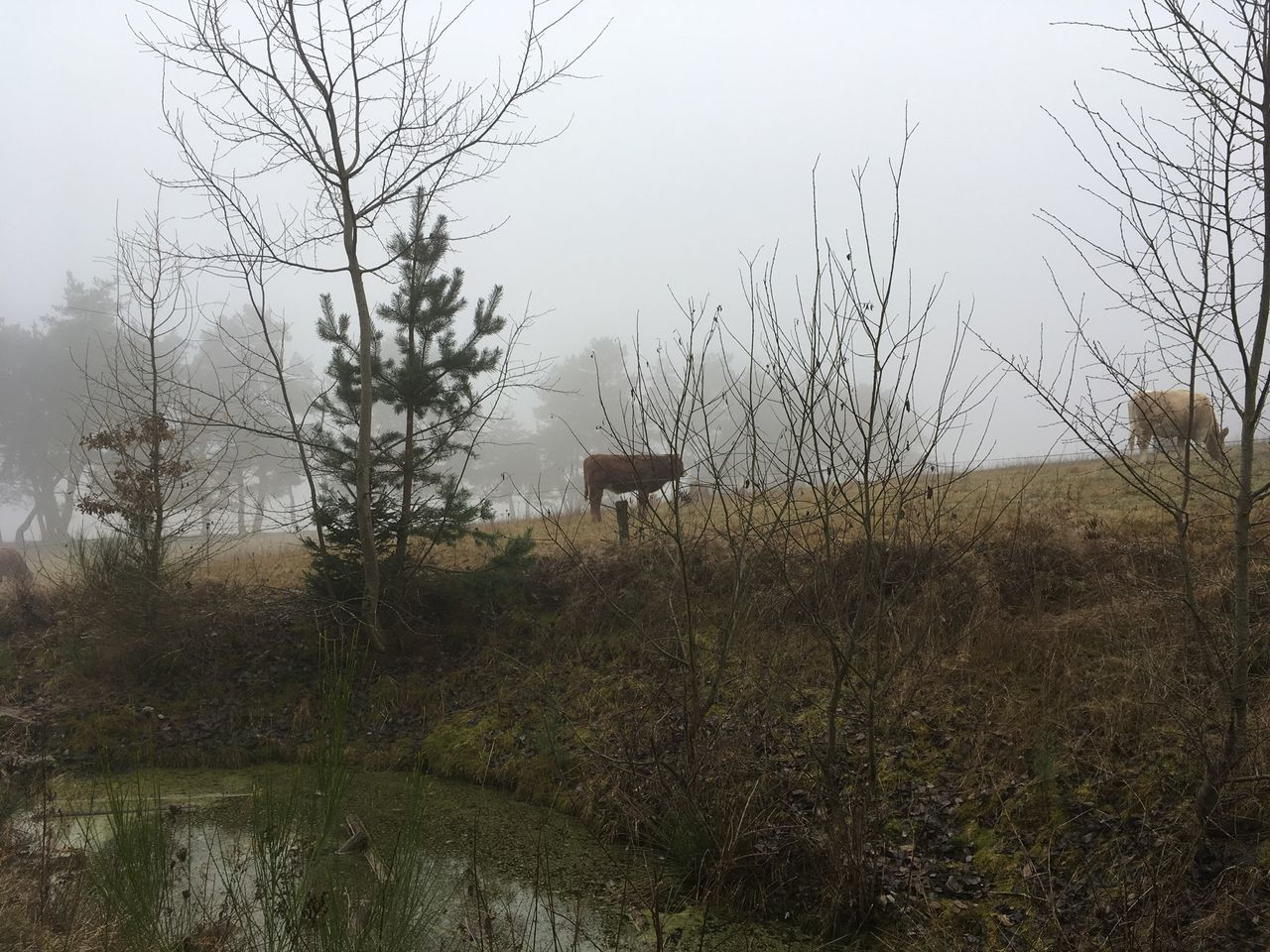 Cows In A Field Fog Foggy Day Green Water Misty Day Pond Reflections In The Water Winter Young Cow