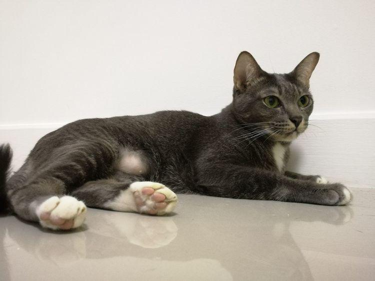 Cat Cat Thailand :) Thailand EyeEm Selects Domestic Cat Pets Animal Feline Lying Down Domestic Animals Animal Themes One Animal