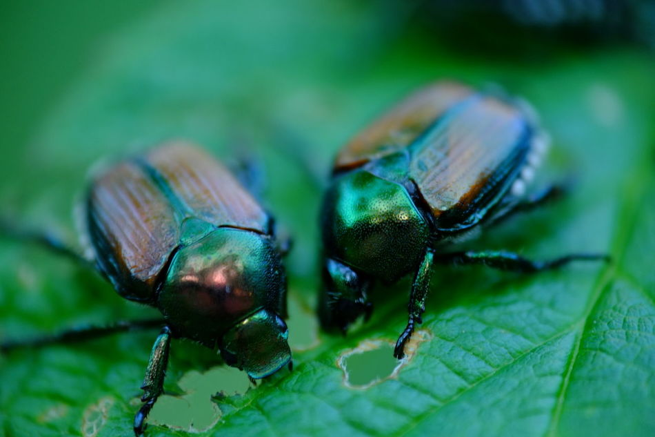 Macro Nature Meal Beetle Eating Eating Green