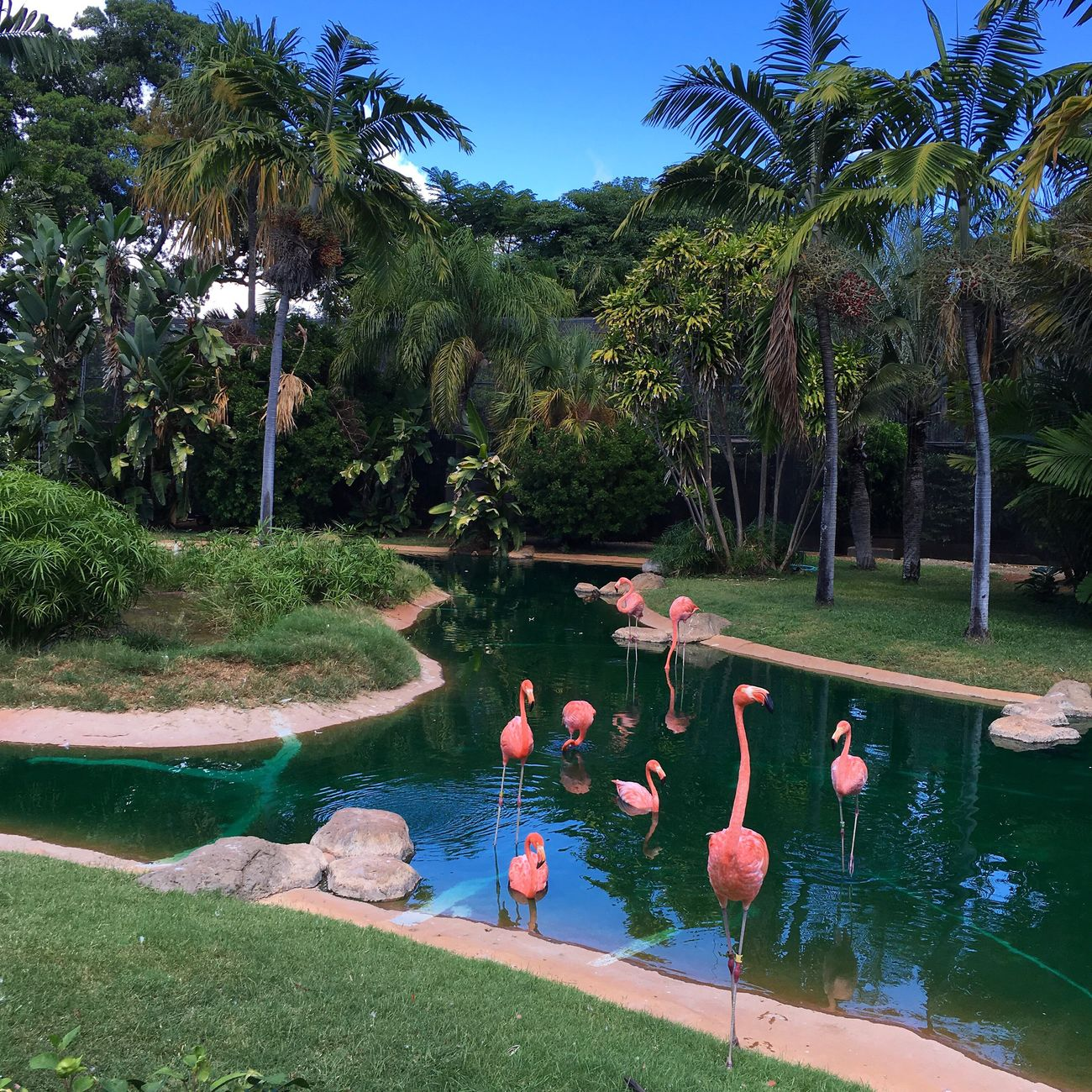 Hawaii Flamingo Animal Themes Flock Of Birds Nature Beauty In Nature Pond Water Zoology Green Color Park - Man Made Space Animals In The Wild Wildlife Bird Grass Tree Tranquil Scene First Eyeem Photo