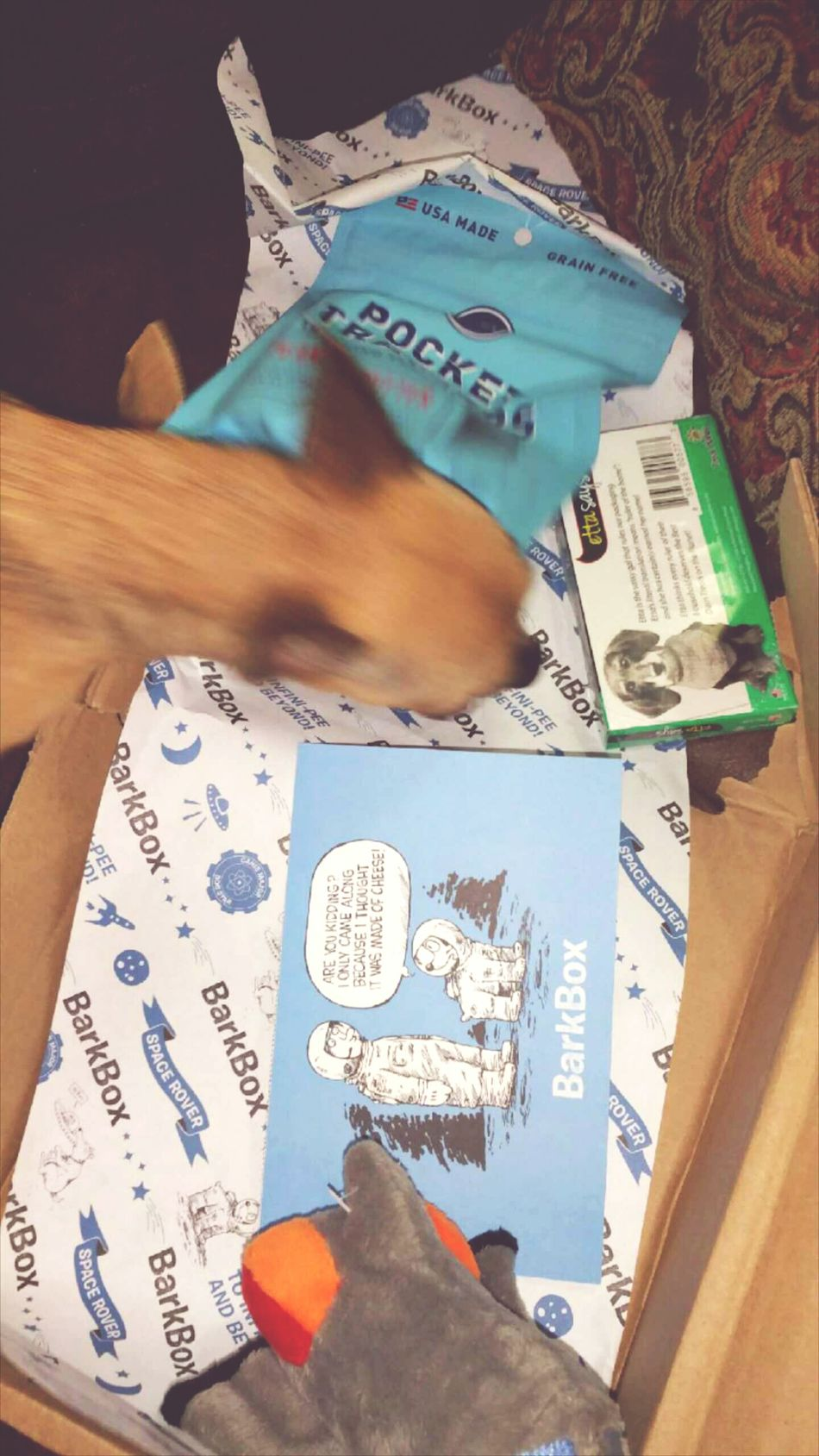 My Baby (3 pounds) recieves a BarkBox each month. A BarkBox comes with puppy treats, doggy toys. Also each box is themed differently each month. This foto is Czaba searching gor her favorites. I Love Czaba My Chihuahua So Much It Hurts