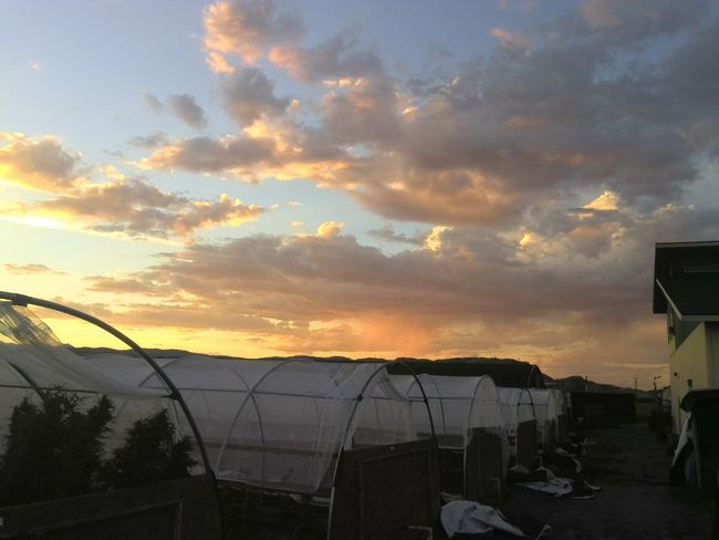Sunset And Clouds  Farm Sunset Lovers Colors Orange Color Orange Sunset Green House Blue Sky Blue Sky And Clouds Hoop Yellow Sky Clouds And Sky Grower Farm Life My Point Of View Medicinal Medicinal Plant Medicinal Herb Pot Marijuana Pot Plant Crops Botany Canabis