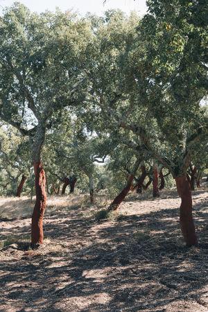 Alentejo Alentejo,Portugal Corcho Cork Cork Trees Countryside Europe Europe Trip Korkeiche Portugal Rural Trees