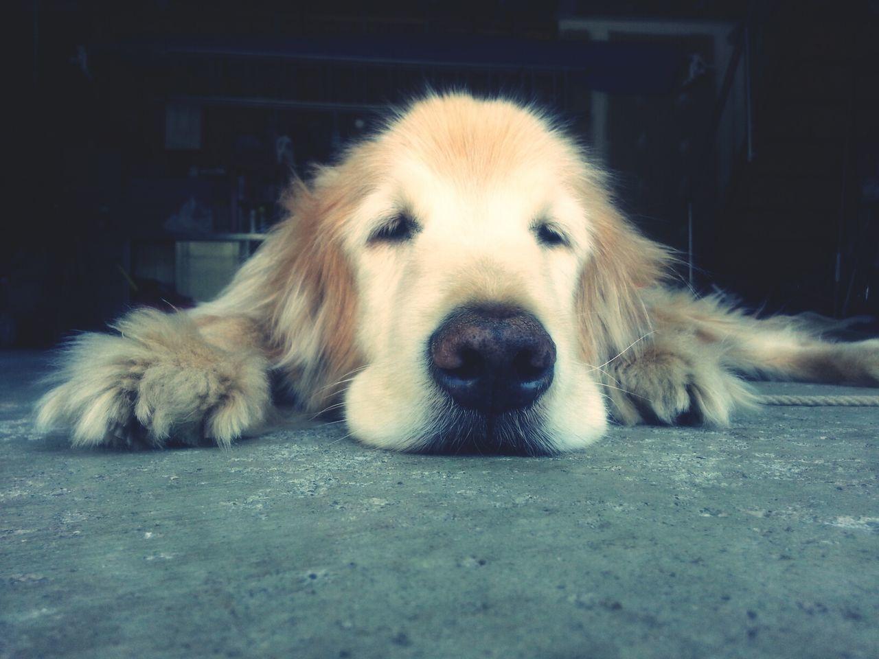 Beautiful stock photos of golden retrievers, Animal Themes, Dog, Domestic Animals, Floor