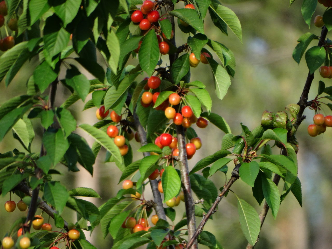 Beauty In Nature Branch Close-up Day Food Food And Drink Freshness Fruit Green Color Growing Growth Hanging Healthy Eating Leaf Nature No People Outdoors Red Rowanberry Tree