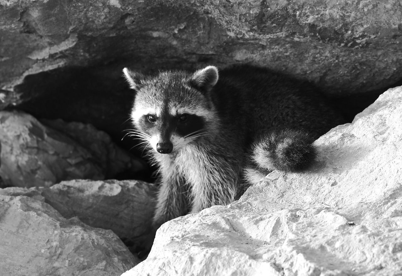 Beautiful stock photos of raccoon, Animal Themes, Animals In The Wild, Cave, Cute