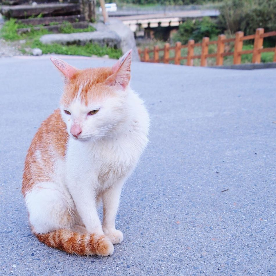My Fair Lady... Domestic Animals Domestic Cat One Animal Animal Themes Pets Mammal Feline Cat Full Length Ginger Cat Outdoors Day No People Looking At Camera Sitting Ginger Cat Portrait Street Cat Street Cats Close-up Lifestyles Taipei Taipei,Taiwan