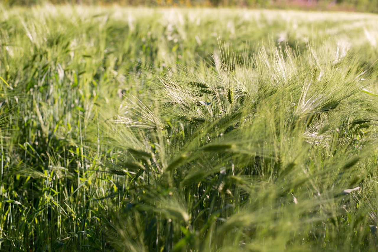 field, grass, growth, agriculture, nature, farm, crop, selective focus, day, tranquility, no people, green color, beauty in nature, rural scene, outdoors, wheat, ear of wheat, close-up