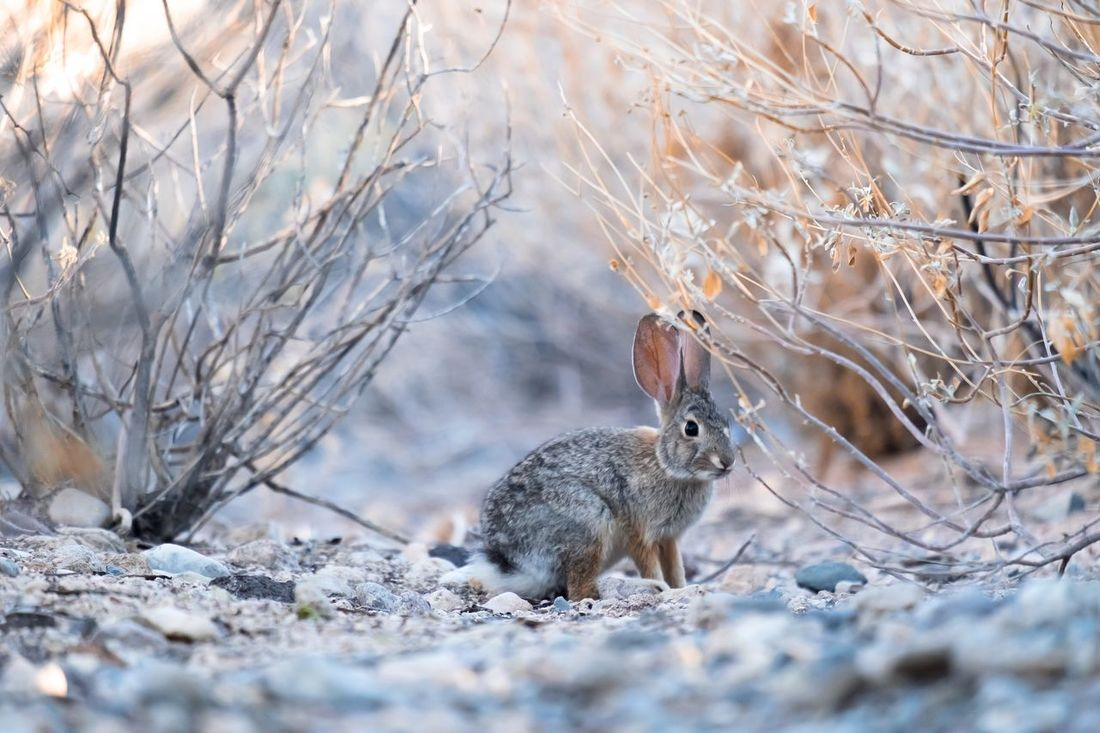 Bunny  I found in Las Vegas Wild Hare Hares Cottontail Rabbit Animals In The Wild Narnia  Bunny  One Animal Animal Themes Outdoors Nature EyeEm Selects EyeEm New Here Fresh On Market 2017