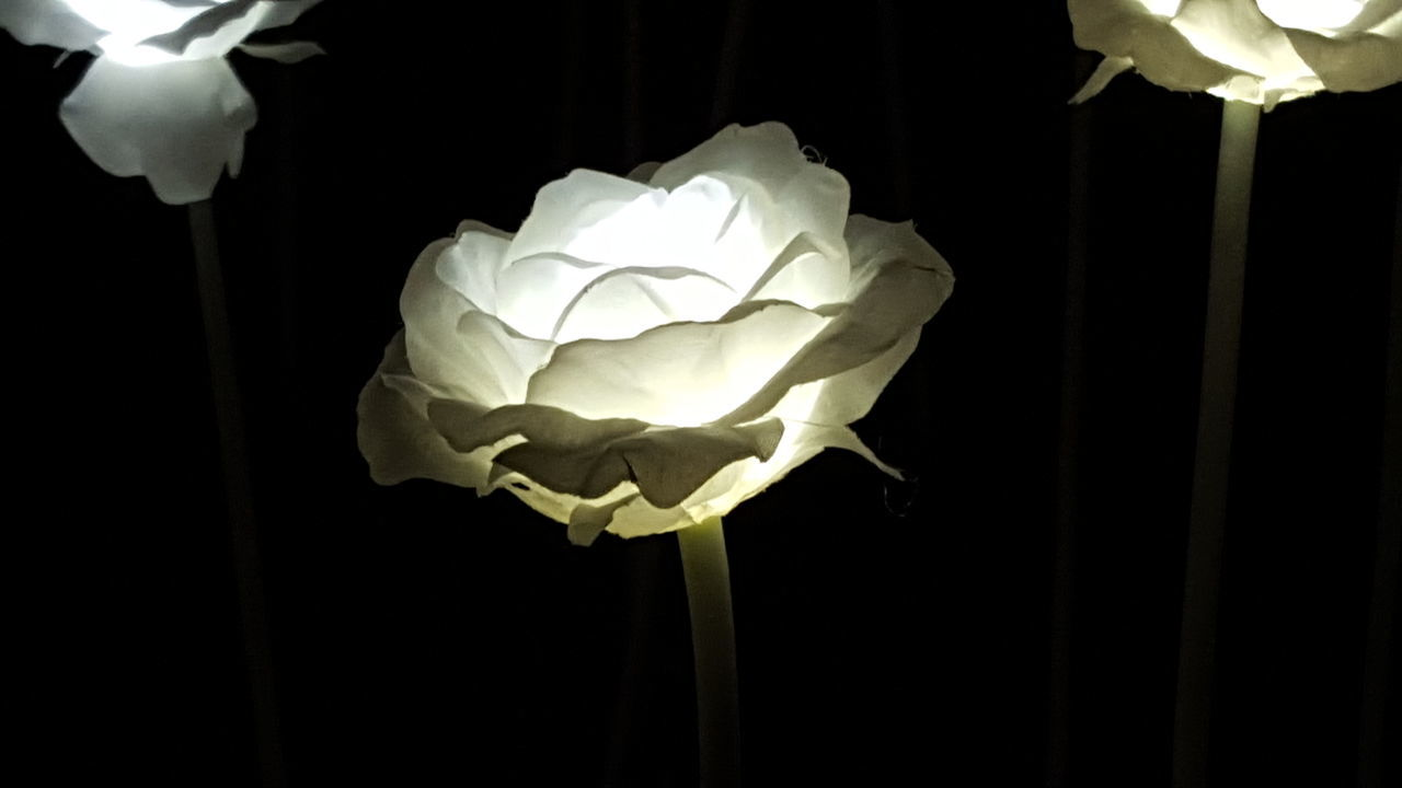 flower, petal, flower head, fragility, rose - flower, no people, beauty in nature, white color, nature, night, close-up, freshness, black background, growth, indoors