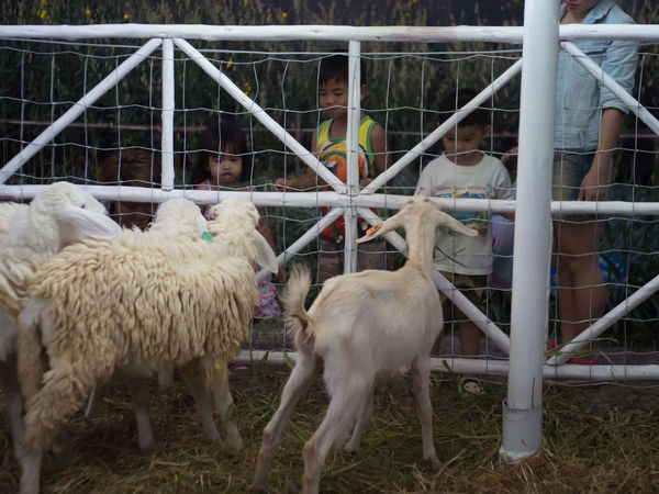 Animal Themes Animals Cage Day Domestic Animals Flock Of Sheep Goat Kid Goat Large Group Of Animals Mammal No People Outdoors Sheep