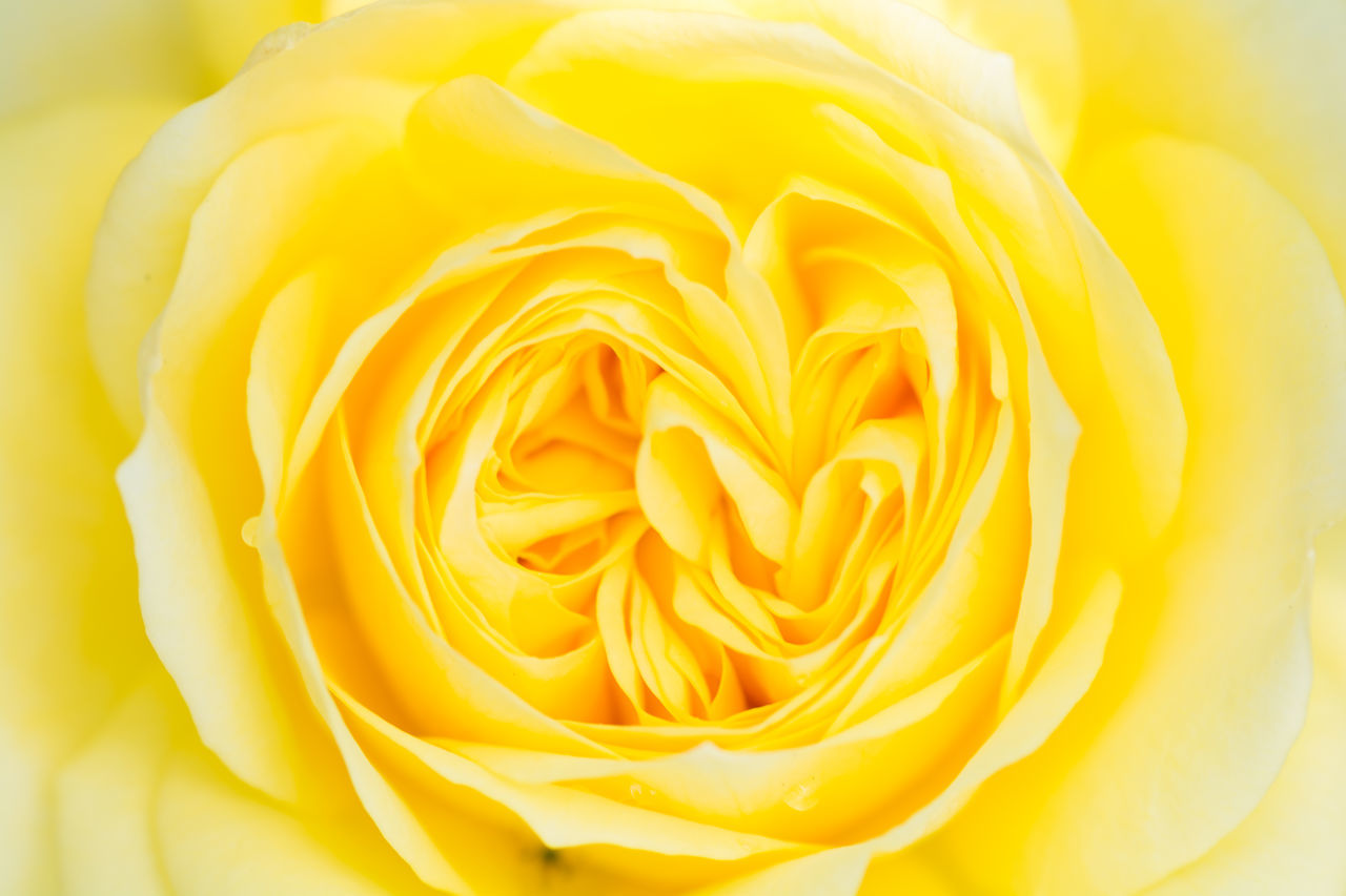 Full Frame Shot Of Yellow Rose