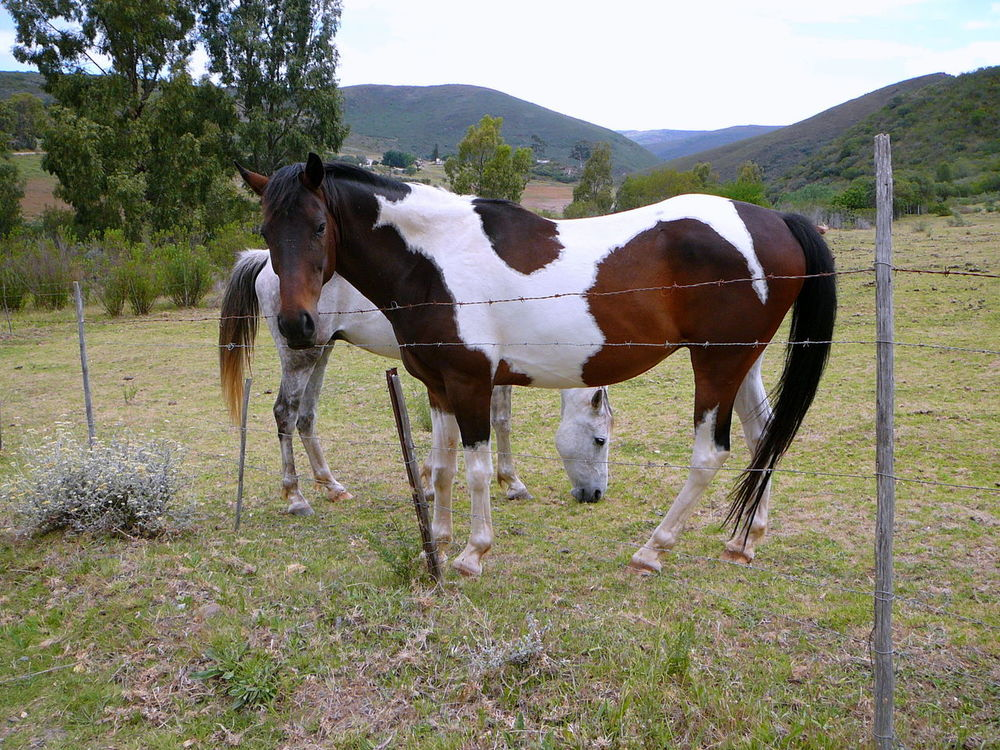 Horse Play - Near Robertson ~ Animal Themes Barbed Wire Dappled Day Domestic Animals Grass Grazing Horse Hoofed Mammal Horse Landscape Livestock Long Tail Mammal Nature No People Outdoors Piebald Robertson Shiny Coat South Africa Is Amazing Tree Western Cape Wire Fence Pinto Staring At Me