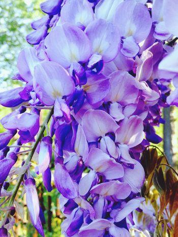 Glycine Macro Flower Sun