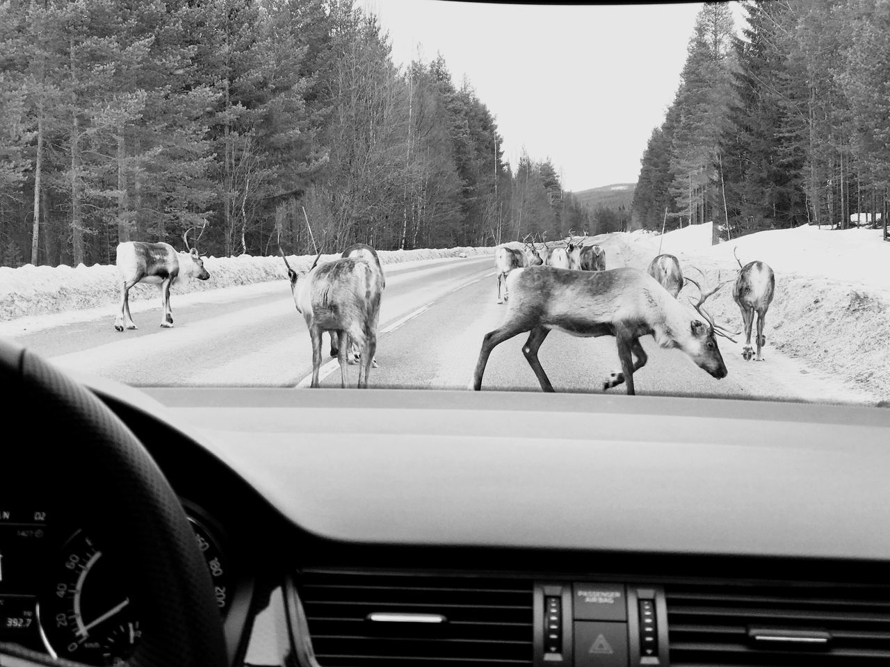 Animal Themes Tree Domestic Animals Transportation Nature Livestock Sky Day Working Animal Outdoors No People In The Middle Of The Road you know you're up north when u have to stop for this... Crossing The Street