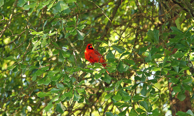 Red bird in tree Beauty In Nature Close-up Day Focus On Foreground Green Green Color Growth Leaf Nature No People Orange Color Outdoors Perching Plant Red Selective Focus Tranquility Tree Wildlife