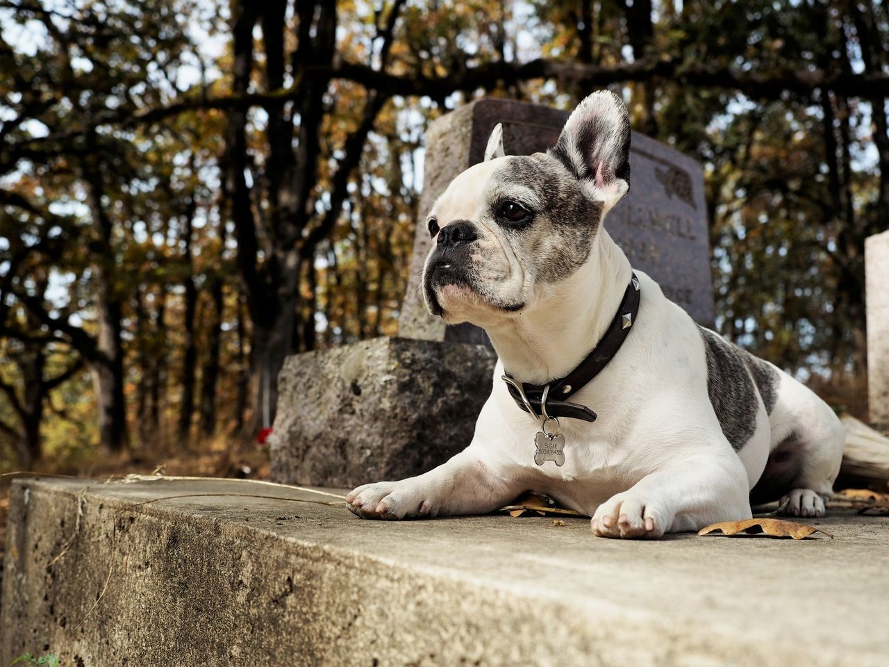 Animal Themes Branch Close-up Day Dog Domestic Animals Frenchbulldog Frenchie Graveyard Graveyard Beauty Graveyard Collection Mammal Nature No People One Animal Outdoors Pets Tree Tree Trunk
