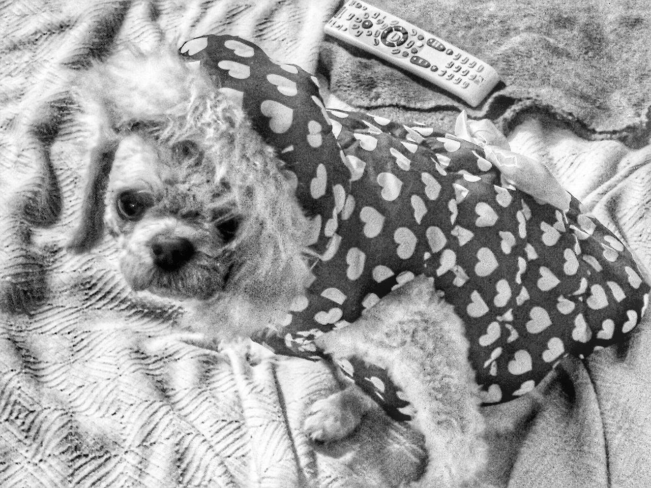 Chuchi❤ Dog Dogs Of EyeEm Inside Day Winter Coat Winter Fashion One Animal Animal Themes Portrait Domestic Animals Pets Looking At Camera Animal Head  Zoology Footpath Loyalty No People Blackandwhite Monochrome Photography