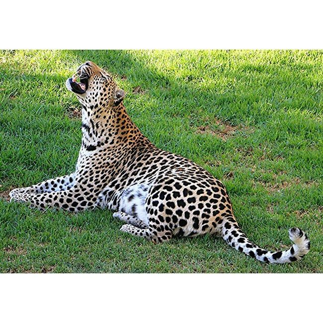 Leopard Allwhatsbeautiful Allnatureshots Exks_nature Ig_wildplace Bestshooter_nature Srs_nature Shootingtheglobe Bestnatureshot Master_shots Procaptures Princely_shotz LitratongPinoy Multi_animals_in_nature Canon_shoot Animal_obsessions Natureaddict Animalsaddict Squaredroid Wildlife Igersmp Aviary @Animals Africa Africanamazing