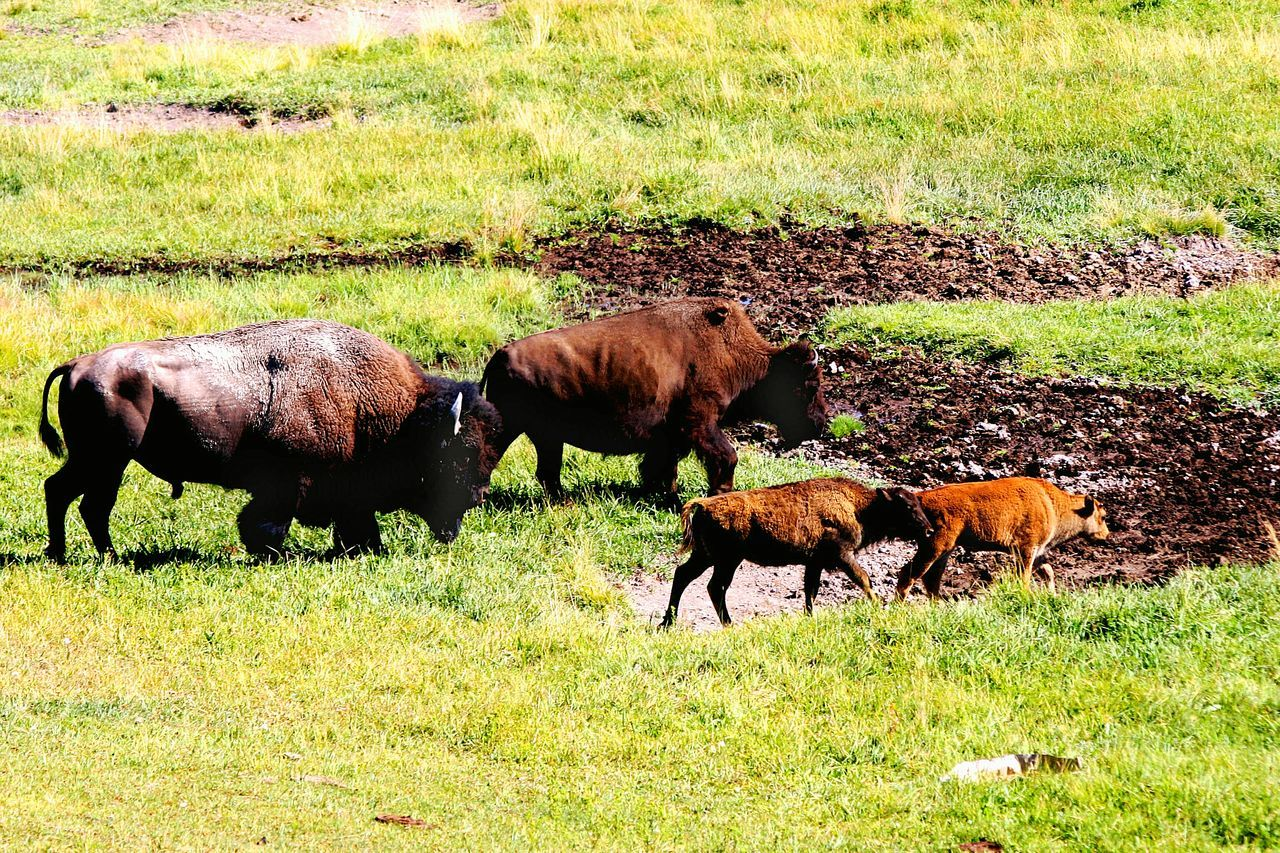 Grass Grazing Green Color Animal Themes Field Nature Mammal No People Animal Outdoors Rural Scene Day Landscape Beauty In Nature Wildlife Wild Animal Bison Yellowstone National Park Bison Group America Colorful Scenics
