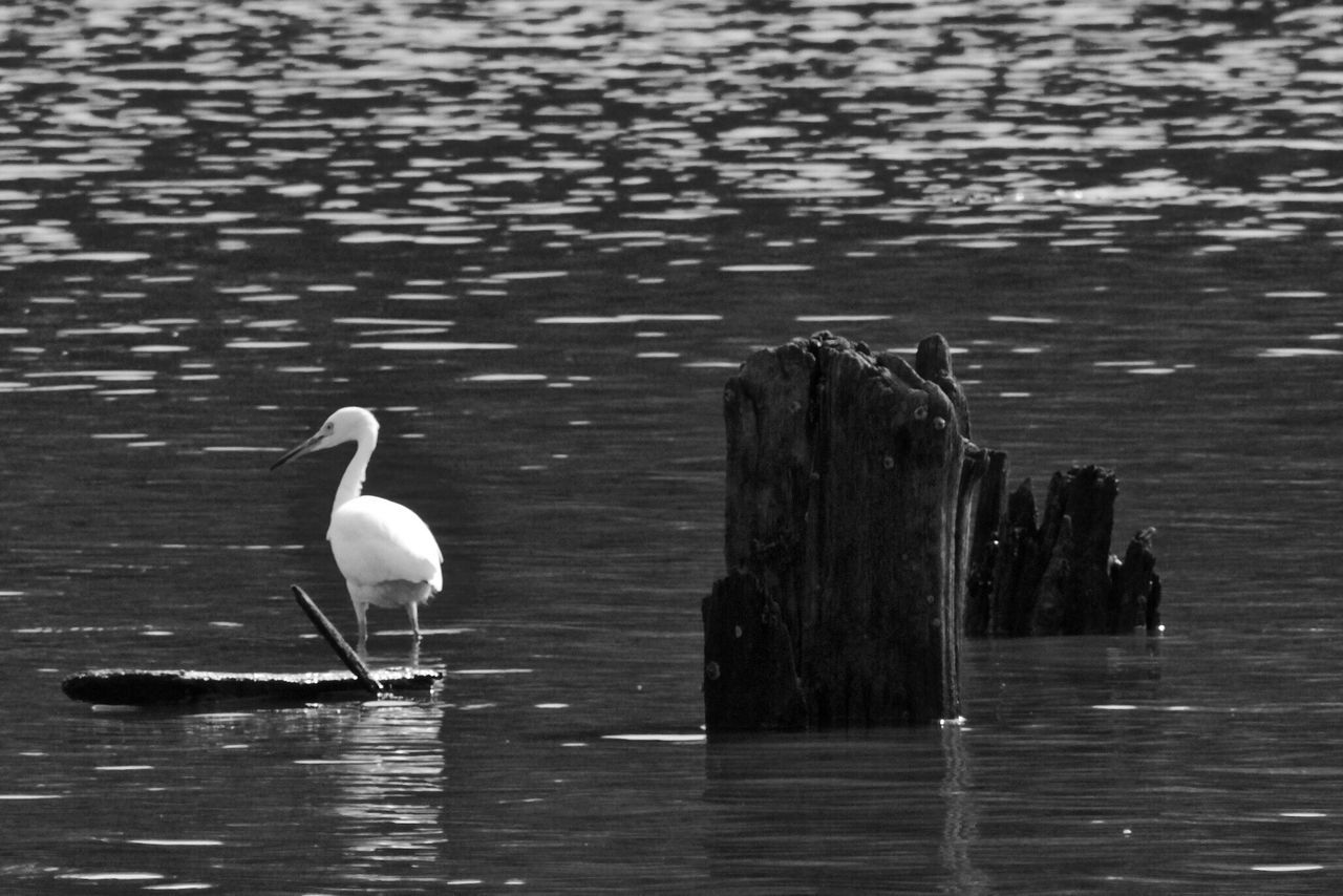 animals in the wild, animal themes, water, bird, animal wildlife, lake, one animal, waterfront, nature, day, outdoors, no people, great egret, beauty in nature, perching