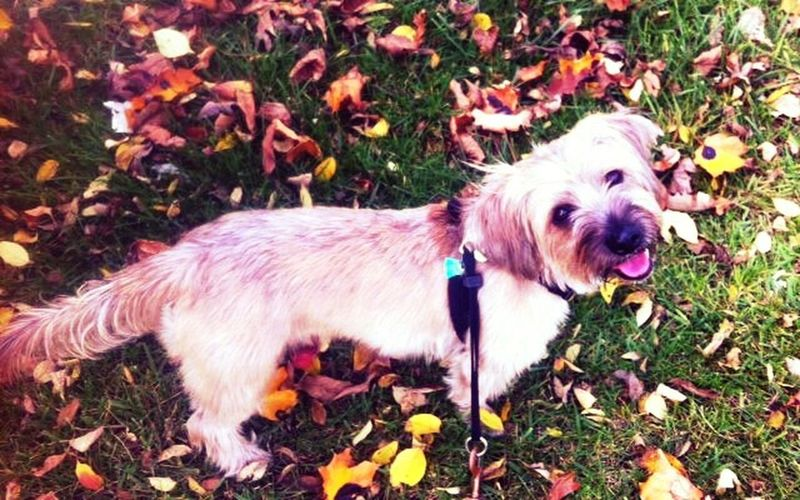 Fall Beauty Dog Walking Autumn Leaves I Love My Dog Terrier Pet Love Cute Pets