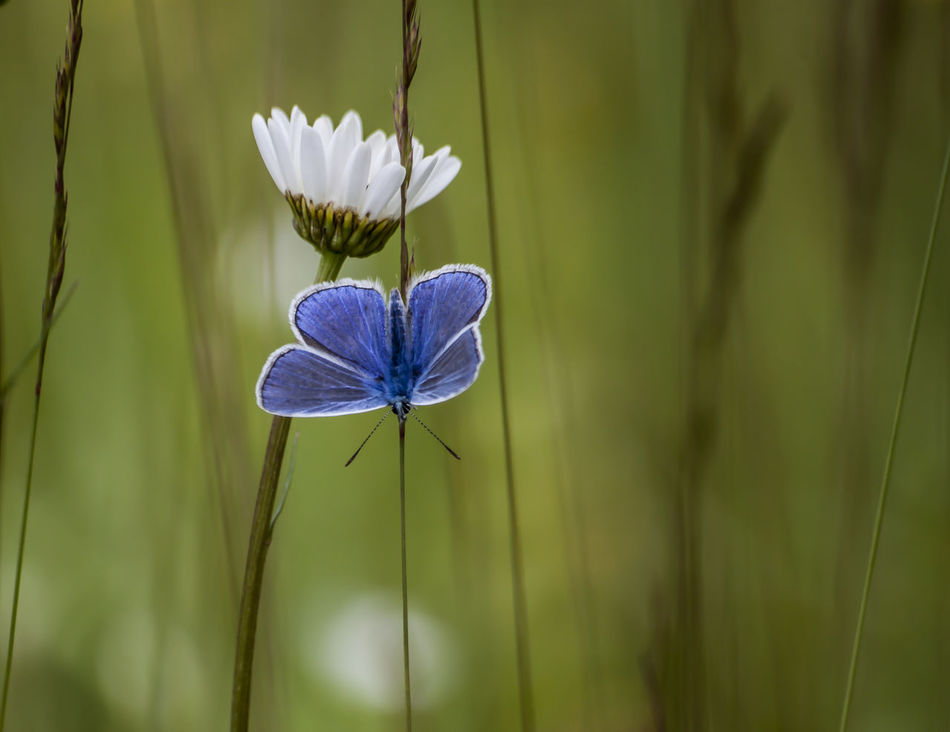 Common blue Blue Butterfly Common Blue Common Blue Butterfly Flower Green Nature No People Outdoors Petal POLYOMMATUS ICARUS White
