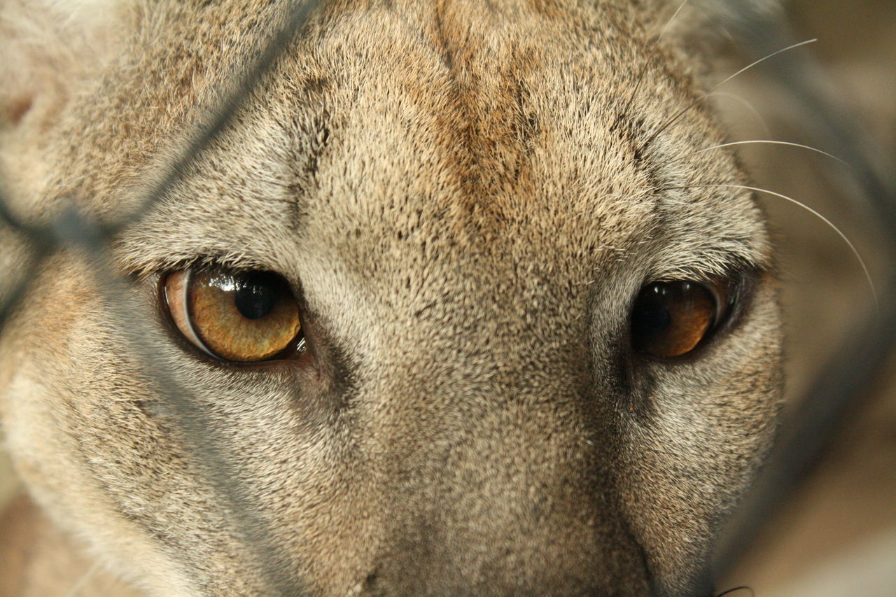 Beautiful stock photos of puma,  Animal Eye,  Animals In The Wild,  Detail,  El Salvador