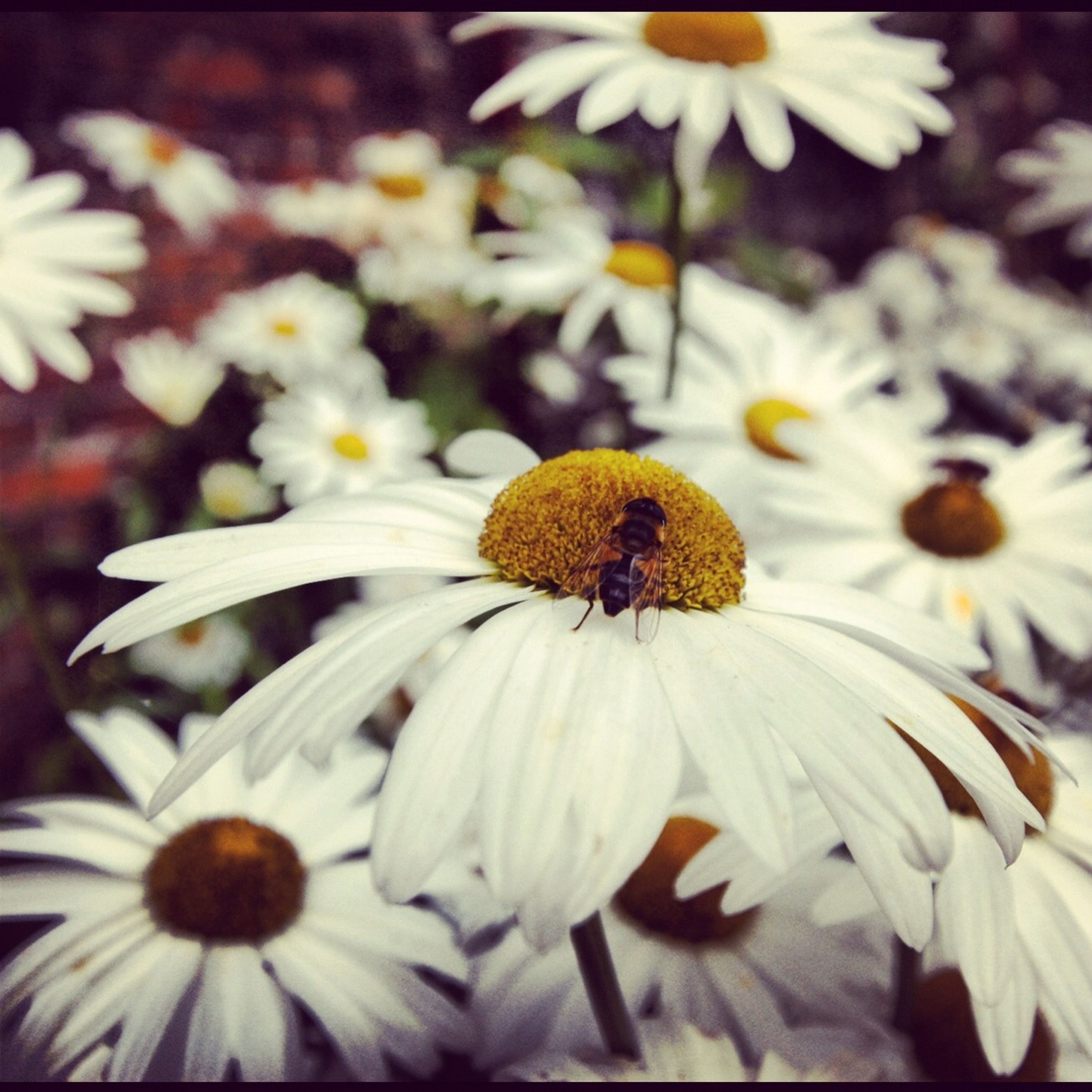 flower, petal, flower head, freshness, fragility, pollen, growth, beauty in nature, yellow, close-up, blooming, nature, focus on foreground, insect, white color, plant, daisy, in bloom, selective focus, day