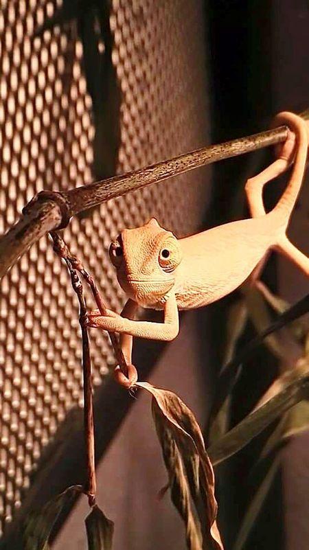 Chamaeleo Calyptratus Pet Reptile Photography Baby Chameleon Beatiful Smile Exotic Pets Exotic