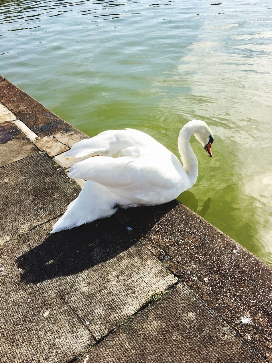 Swan going back in the lake.... Animals In The Wild Animal Themes Swan Bird White Color Water Lake High Angle View Day Animal Wildlife One Animal No People Outdoors Water Bird Beak Swimming Nature Close-up Swan In A Lake