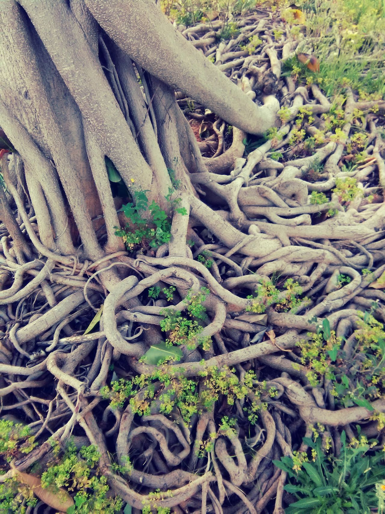 Nature Growth Roots Of Tree Roots On The Ground Roots & Leaves Roots Beauty In Nature Tree Plant Growth Growth Flowers Flower Head Flowers, Nature And Beauty Growing Plants Wildflowers Wild Flower Day No People